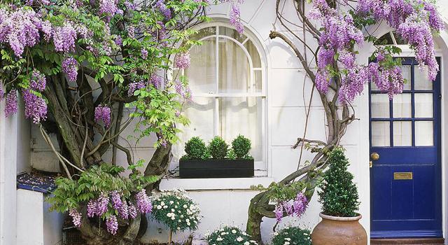 декорация на градината с глициния